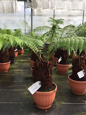 Tree Fern Trunk Size 30cm Overall Height approx 75 Dicksonia Antarctica
