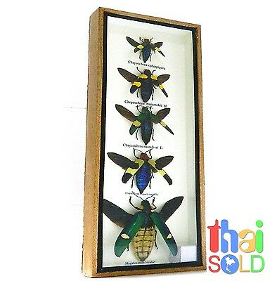 Assorted 5 Chrysochroa Beetle flying Insect Taxidermy in Wood box 160530