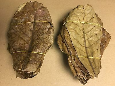 1 Kg Tropical almond tree Leaves ~20cm more than 500 Pieces Catappa Leaves