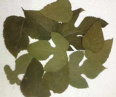 Mulberry leaves - food for shrimps, Crabs, Snails & Co