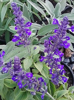 Salvia Mystic Spires in 50mm forestry tube perennial plant