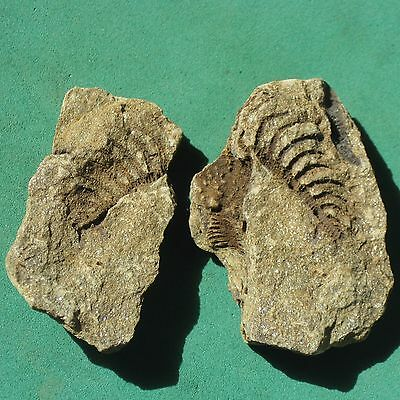CRINOID FOSSIL trilobite age mineral Devonian Bolivia REAL CRINOID FOSSIL !!!