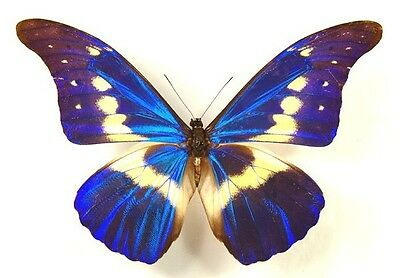 Taxidermy - real papered insects : Morphini : Morpho rethenor helena