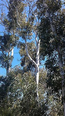 Eucalyptus laeliae ( Ghost Gum Tree) in 50mm forestry tube native plant tree