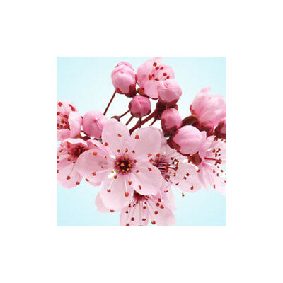 CHERRY BLOSSOM Fragrance Oil for Candles, Soaps, Melts - 10ml to 2.5L