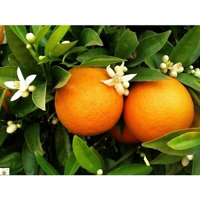 ORANGE BLOSSOM Fragrance Oil for Candles, Soaps, Melts - 10ml to 2.5L