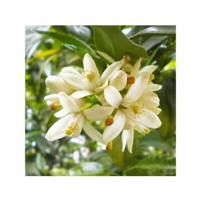 NEROLI & YLANG YLANG Fragrance Oil for Candles, Soaps, Melts - 10ml to 2.5L