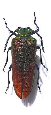 Beetle, Prionidae, CHELODORUS  CHILDRENI ex Chile, very rare   n29