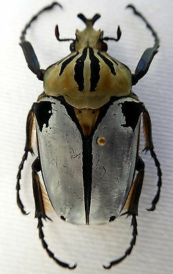 beetles,Goliathus cacicus male,extrem small, (57,44mm)  RARE, Cote d Ivoire, n54