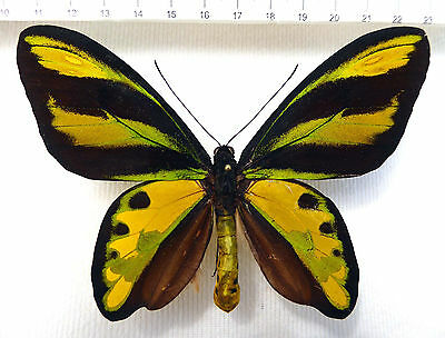 Ornithoptera tithonus ssp.dominici male,Rarity, Irian Jaja, Indonesien HK1/7