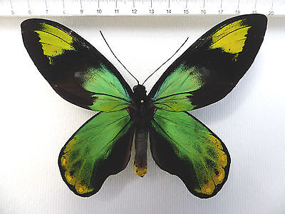 butterflies, Ornithoptera victoriae ssp.epiphanes male from Makira, SI  HK1/9