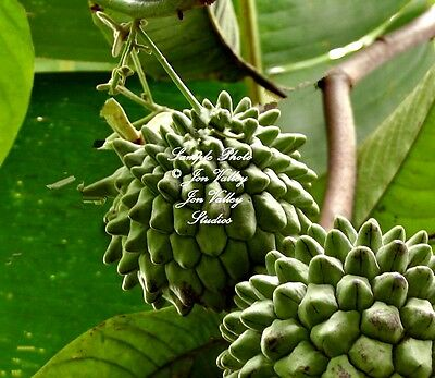 Annona purpurea 5 Seeds Soncoya Rare Tree for Tropical or Container Sweetsop