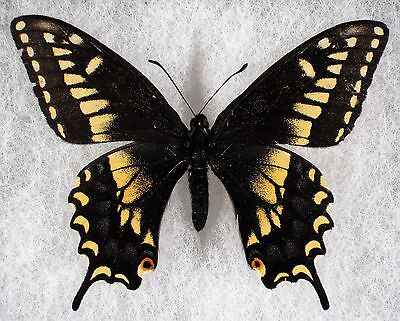 "Insect/Butterfly/ Papilio nitra - Male 2 5/8"" VERY RARE"