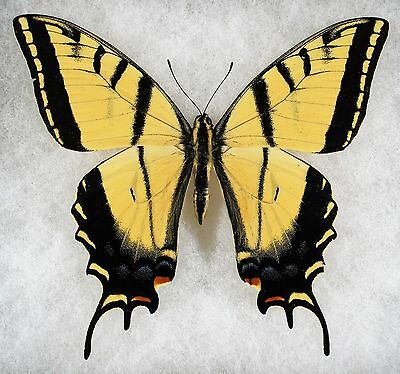 "Insect/Butterfly/ Papilio multicaudata - Male 4"" Minimal Black Banding"