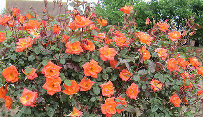 WARM WELCOME - 5.5lt Potted Climbing Garden Rose - Glowing Orange Healthy Blooms