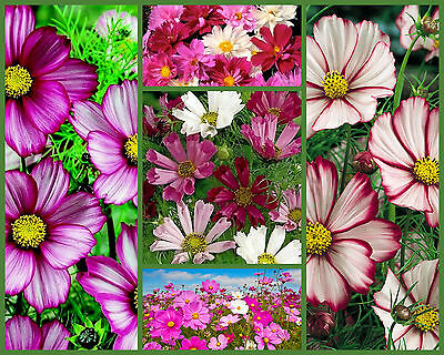 Cosmos Seeds, Crazy For Cosmos 5 Pk Special, Heirloom Flower, Draws Butterflies!