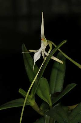 MOS. Orchid Species - Jumellea facilorchis (flowering size)
