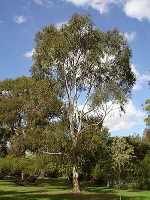 Eucalyptus scoparia (Gum Tree) in 50mm forestry tube native plant tree