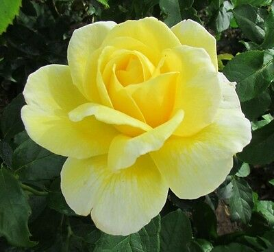 GOLDEN LADDER - 5lt Potted Climbing Garden Rose - Fragrant, Yellow, Repeats