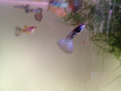 One pair (1 male+1 female) blue metal lace guppy