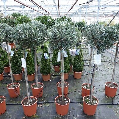 Large Standard Olive - Olea Europa - 1.5 to 1.6 Metres tall inclusive of pot