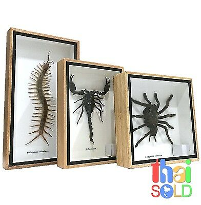 Assorted 3  Real and Rare Insects Scorpion Tarantula Centipede in Boxes 160331