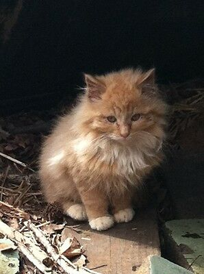 SPONSOR FEED VET FLUFFY FERAL KITTEN CAT RESCUE Rec COLOR PHOTO NON PROFIT