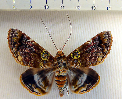 Cyclodes spectans male from Queensland, Australia, rarely offered,  n320