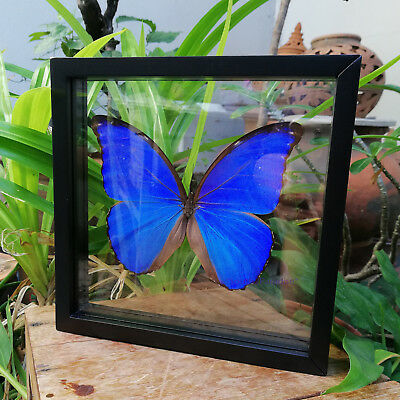 One Real Morpho Didius Blue Peruvian Butterfly Taxidermy Glass Framed Home Decor