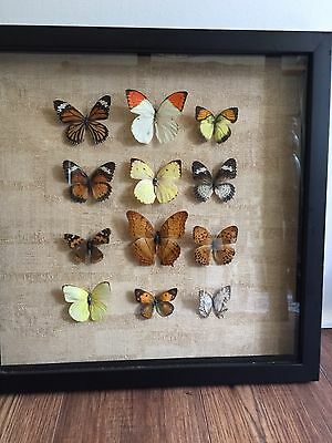 """Various Butterfly Mounts - in 15.75"""" X 15.75"""" shadow box frame"""