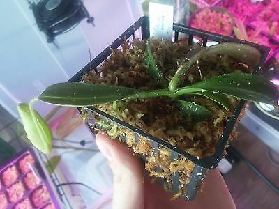 """Nepenthes Maxima """"Wavy Leaf"""" [M] from Canada"""
