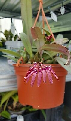 Orchid species Bulbophyllum Pumilio, specimen, flowering size