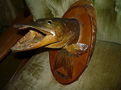 Vintage PIKE  head mount, fish taxidermy