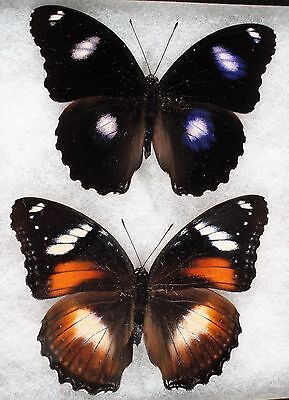 """Insect/Butterfly/ H. bolina nerina - Pair 3.5"""""""