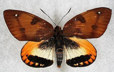 "Insect/Moth/ Castnia ssp. - Male 2 1/4"" Type II"