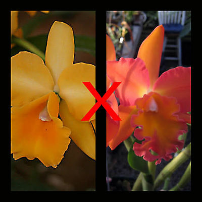 MOS. Orchid Cattleya Chine 'Bouton D'or x Rlc.Esther Costa 'Orange'