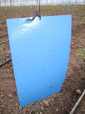 Large blue Sticky Trap ( pack of 20)