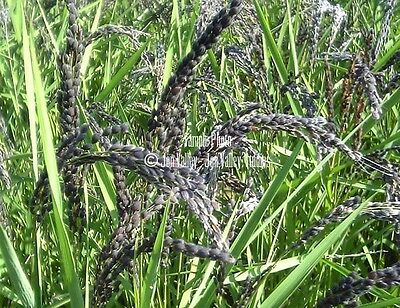 Oryza sativa Purple Black Rice 250 Seeds Rare Asian easy Water Gardens-container