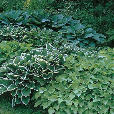 Pack x6 Mixed Hosta Perennial Garden Plug Plants Special Mix 'Large Plugs'