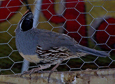 25 Gambles Quail Hatching Eggs