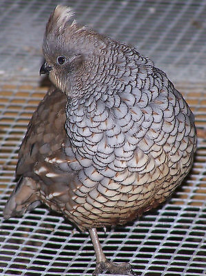 25 Blue Scale Quail Hatching Eggs