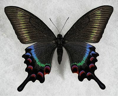 Insect/Butterfly/ Papilio maackii - Female 3.5""
