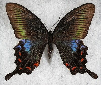 """Insect/Butterfly/ Papilio ssp. - Female 4"""" A2"""