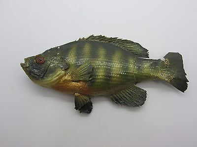 Vintage Taxidermy Fish Crappie Small Mouth Bass Perch I don't know what kind