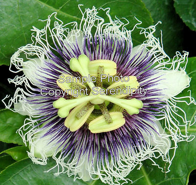 Passiflora edulis Passion Flower 10 Seeds butterflies love exotic showy blooms