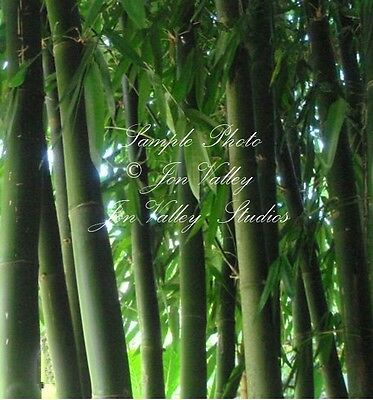 Bamboo 10 Seeds Giant Clumping Bamboo Dendrocalamus hamiltonii Fast Grower