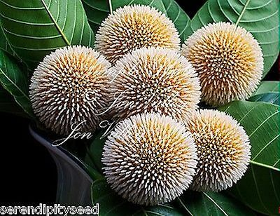 Kadam Tree 25 Seeds sweet fragrant Flowers Attracts Butterflies Neolamarckia