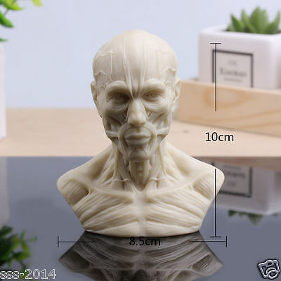 Human Model Anatomy Skull Head Muscle Replica Resin Bone Medical Art School
