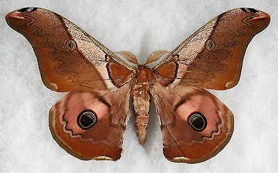 Insect/Moth/ Moth ssp. - Male 5 1/4""