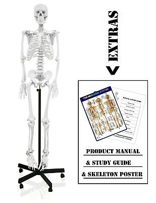 "Walter Products Full Size Human Skeleton-66"" (168cm) with Dust Cover - B10201"